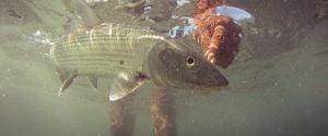 Cayman Underwater Bonefish Release