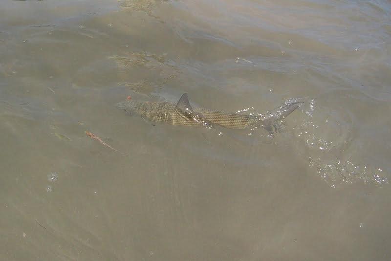Cayman Tailing Bonefish